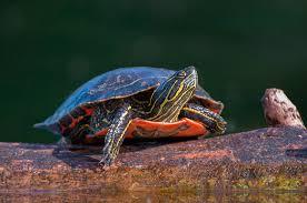 Resultado de imagen de tortugas pintadas