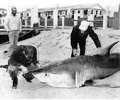 Nefsc Apex Predators Program Shark Research Length Weight