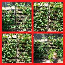 after 2 weeks carefully stand pallets upright plant the upper edge with strawberries if desired