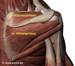Resultado de imagen de dolor del músculo infraespinoso