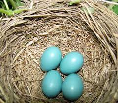 not all blue eggs are bluebird eggs