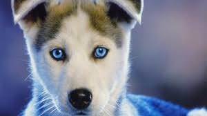 baby husky wallpaper. Fine Wallpaper Preview Wallpaper Husky Puppy Blueeyed Baby Throughout Baby Husky Wallpaper B