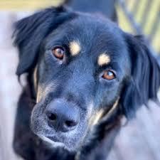 Dog for adoption - Priscilla, a Border Collie in Austin, TX | Petfinder