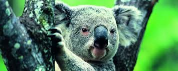 koala facts worksheets information for kids koala facts and information