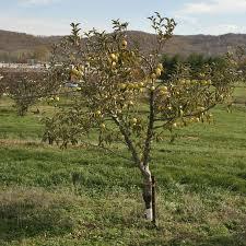 Fruit Tree Sizes Stark Bros