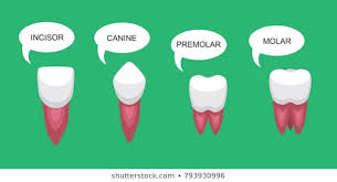 Canine Dog Teeth Chart Royalty Free Canine Teeth Stock Images Photos Vectors
