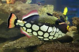 clown triggerfish. Modren Triggerfish Clown Triggerfish Balistoides Conspicillum To Triggerfish R