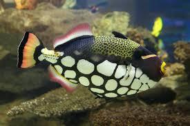 clown triggerfish. Modren Triggerfish Clown Triggerfish Balistoides Conspicillum To Triggerfish R