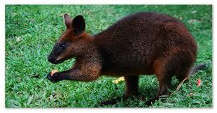 Животный мир Австралии сообщение об одном из представителей Австралийский кенгуру