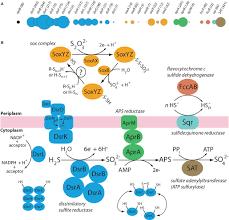 Frontiers Metatranscriptomic Analysis Of Sulfur Oxidation