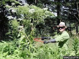 Giant - Heracleum Hogweed Apiaceae Mantegazzianum apiales 2121079