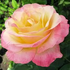 Hapinessa rose