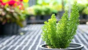 Office cubicle plants Indoor Plants Luxurious And Splendid Cool House Plants Office Cubicle Plants Asparagus Fern Office Cubicle Plants Home Advisor Newhillresortcom Luxurious And Splendid Cool House Plants Office Plants No Light Good