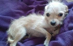 wire haired terrier mix. Fine Wire Chihuahua  Wire Fox Terrier Mixed Breed Dogs Information And Pictures In Haired Mix D