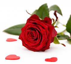 Bildresultat för en ensam röd ros på kista
