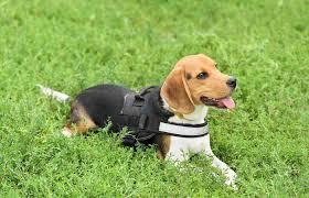 Best Beagle Harness