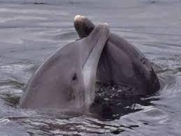 Что и как слышат дельфины афалина слух эхолокация голос объем  Что и как слышат дельфины
