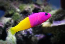 Dottyback Compatibility Chart The Royal Dottyback Pretty But Potentially A Royal Pain