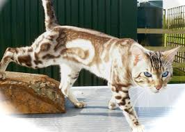 marble bengal cat. Exellent Bengal Bengal Cat Sittingpretty Casper With Marble Cat E