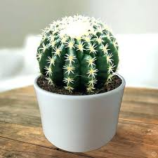 cactus 1 plant order now uk large house succulents at