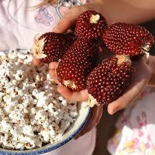 Growing Popcorn Strawberry Popcorn Sweetcorn Seed Zea Mays Buy Online