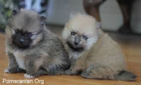 Pomeranian Puppy Stages
