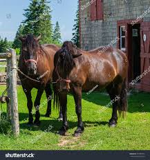 Canadian Light Horse Canadian Horse Horse Breed Canada That Stock Photo Edit Now