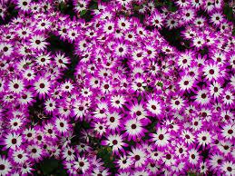 beautiful purple and white flowers. Beautiful Purple Small Purple And White Flowers On Beautiful And
