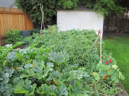 small backyard vegetable garden ideas in wooden rectangle container over green grass yard facing goldenrod wooden fence and wooden fence with crisscross top