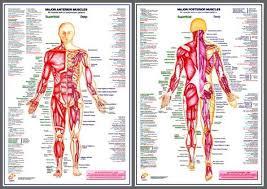 Wall Chart Of Human Anatomy Major Muscles Anatomy Wall Chart Poster Combo 2 Posters