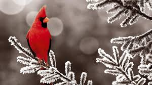 winter cardinal wallpaper.  Winter Download This Wallpaper And Winter Cardinal A