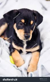 black and brown terrier mix. Delighful Black Adorable Black And Brown Small Terrier Mix Puppy Relaxing On Blue Linen  Blanket Throughout And