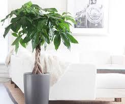 Office feng shui plants Bamboo Plant Feng Shui Money Plant Aliexpress Feng Shui Money Plant Fosters Prosperity