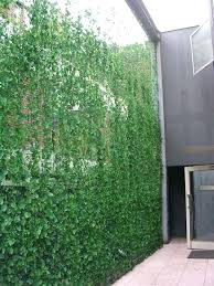 patio privacy plants tall ivy privacy screen is a super natural idea to realize patio privacy patio privacy plants