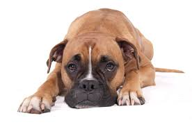 horrible boxer dog lying down free boxer dog lying down pet free dog lying down