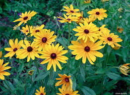 Image result for yellow daisy