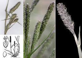 Sporobolus alopecuroides (Piller & Mitterp.) P.M.Peterson - Guida ...