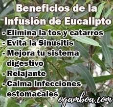ᐈ Infusión De Eucalipto Propiedades Y Beneficios Para La Salud