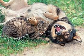 cats and dogs playing. Exellent And 600px0catdogplaying Inside Cats And Dogs Playing B