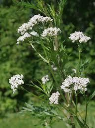 Valerian (Valeriana officinalis Caprifoliaceae) – Salt Spring Seeds