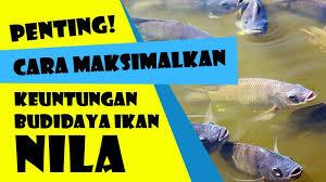 Ciri-Ciri Ikan Nila Stress