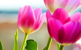 spring tulip desktop wallpaper.  Desktop Photos  Tulips Background Spring Scenery Nature Desktop Hd Wallpapers   Download 1920x1080  For Tulip Wallpaper
