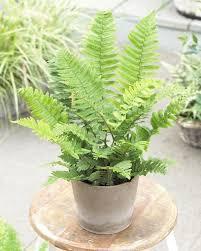 types of indoor ferns. shaggy shield fern types of indoor ferns