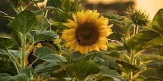 Lernen Von Der Sonnenblume Hypnotic Art Gallery