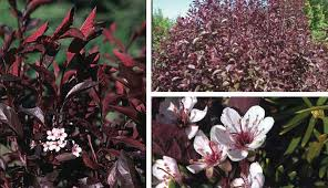 The Small Evergreen Shrub With Pink Flowers And Is Considered Shrub With Pink Flowers