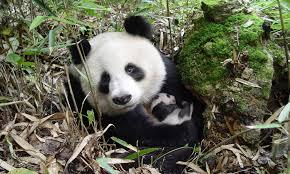 Giant Panda Population Chart Panda Population Grows Nearly 17 Percent Stories Wwf