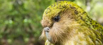 research essay rs of ecology kakapo conservation grasping at straws or crowdfunding conservation icon