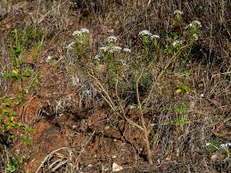 Iberis ciliata subsp. welwitschii - Flora de Andalucía