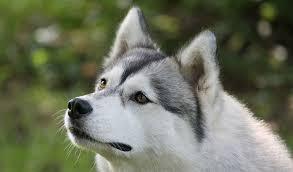 siberian husky dog breed