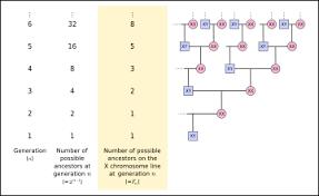 X Chromosome Inheritance Chart X Chromosome Wikipedia